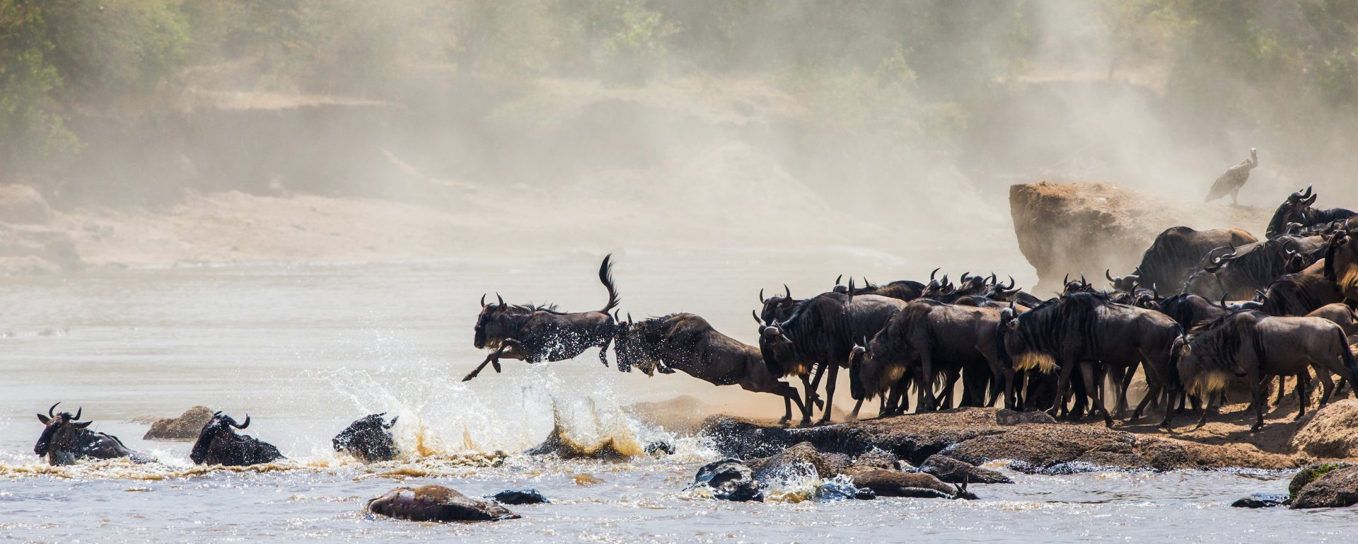 wildebeest in Masai Mara for an incentive experience in Kenya